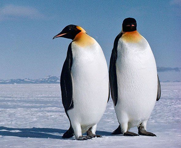 Antarctic Peninsula penguins